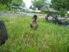 Zoji, a duckling with a recovering deformity on his bill, follows us around in the yard as water drip-tubes are installed.